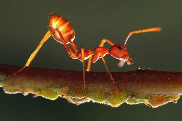 gigitan semut rangrang