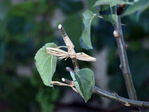 jenis perkembangbiakan vegetatif buatan tumbuhan