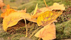 lumut daun adalah