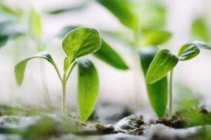 tumbuhan dikotil