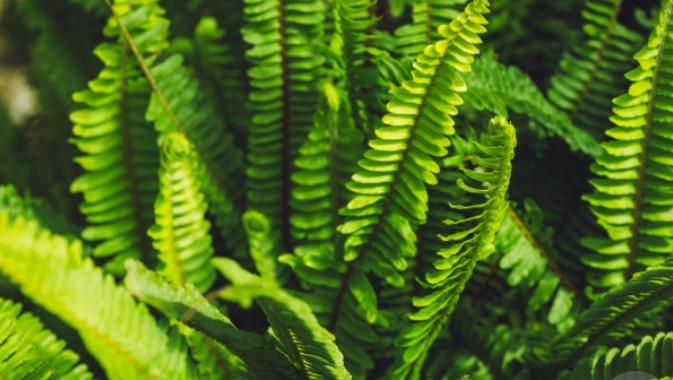 apa itu tumbuhan paku sejati